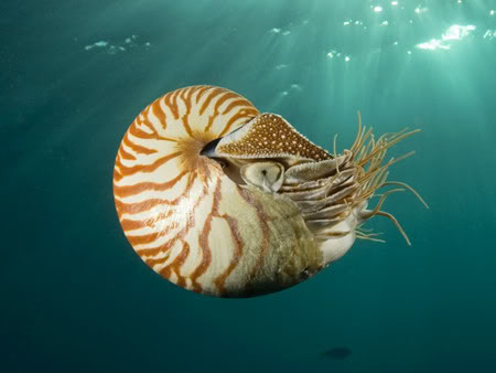 ammonite_nautilus